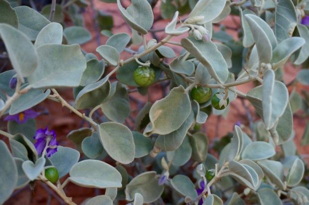 bush-tomato